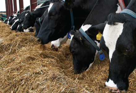 Dairy cows feeding on forage listing