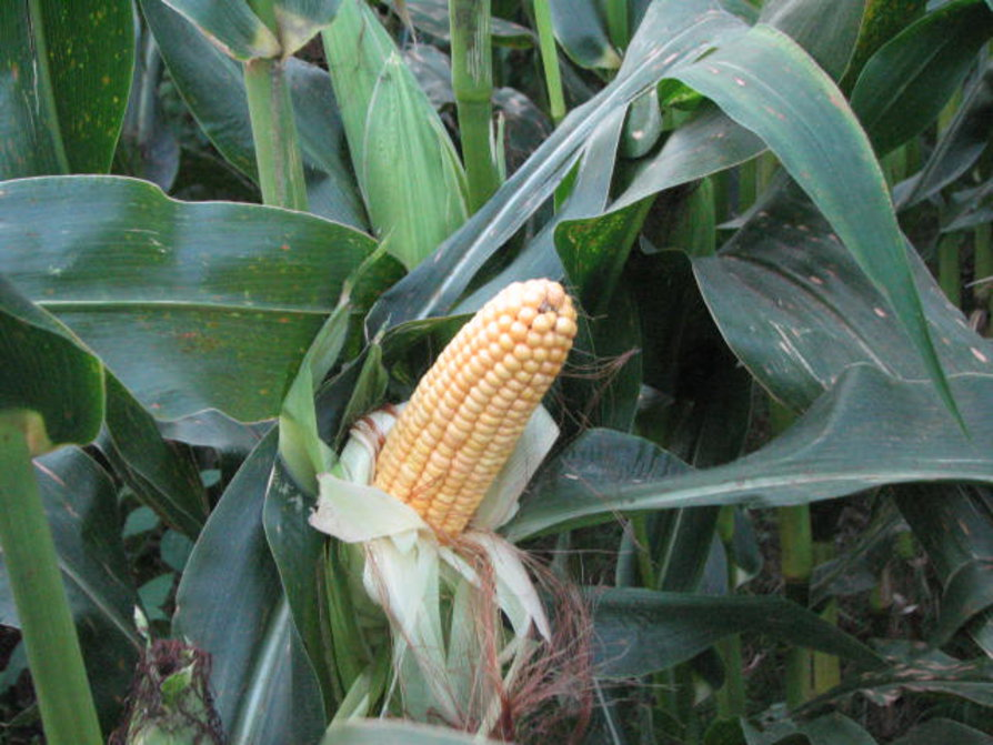 maize survey