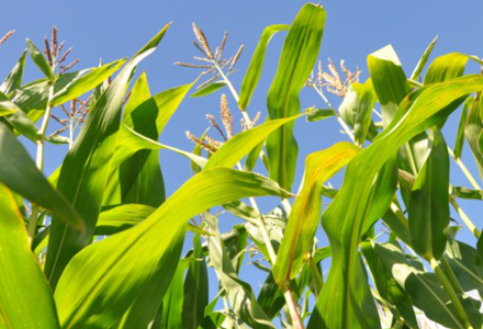 Maize 0239 copy.jpeg listing