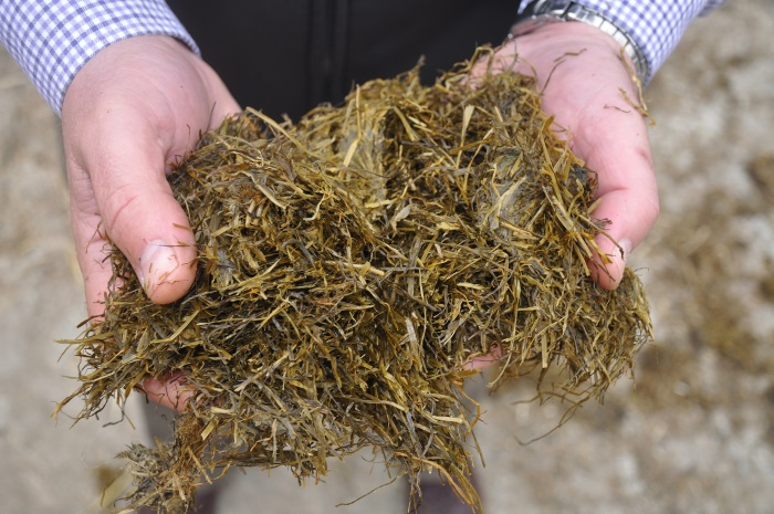 Silage in hands